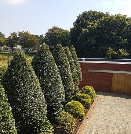 Quercus Ilex Row, Evergreen Holly Oak, Hedge Trimming